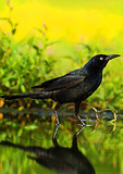 Boat-Tailed Grackle At Water's Edge