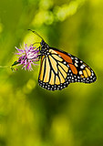 Monarch Butterfly Nectaring On Spotted Knapweed