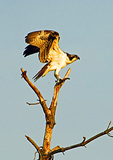 Osprey Stretching Wings In Early Light Just Before Take-Off