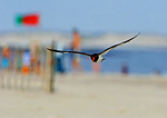American Oystercatcher And Beach Colors