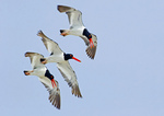 Three American Oystercatchers In Flight