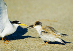 Least Tern Feeds Juvenile Chick
