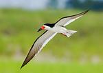 Black Skimmer Flight In Summer