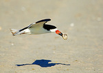 Black Skimmer Flight With Egg Shell