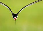 Black Skimmer Flight Showing Laterally-Compressed Beak