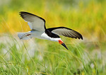 Black Skimmer And Yellow Grasses In Early August
