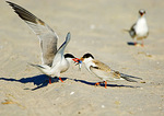 Common Tern Feeding Juvenile Chick