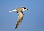Juvenile Common Tern In Flight