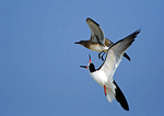 Black Skimmer Chasing Off Gull Over Nesting Grounds