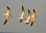 Four Skimmers Fly In Early Morning