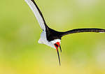 Black Skimmer Close-Up In Flight