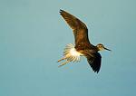 Lesser Yellowlegs In Flight During Autumn Migration