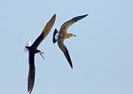 Black Skimmer Chasing Juvenile Gull Above Skimmer Nesting Grounds