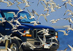 Common Terns and Truck On Beach