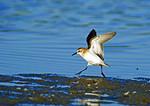 Semipalmated Sandpiper Running