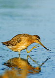 Short-Billed Dowitcher Preening ; Notice Prehensile Bill Tip