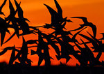 Black Skimmer Flight Group Against Orange Sky