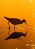Lesser Yellowlegs Foraging After Sunrise