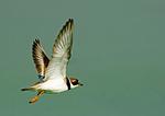 Semi-Palmated Plover In Flight