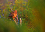 Mourning Dove In Early Light