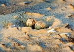 Least Tern Eggs At First Light