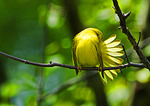 Yellow Warbler Preening With Fanned Tail Feathers