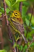 Pristine Prarie Warbler In Spring Migration