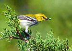 Black-throated Green Warbler In Autumn With Insect