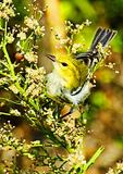 Black-throated Green Warbler In Autumn And Lady Bug