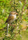 Clay-colored Sparrow In Autumn