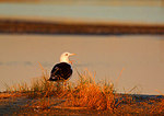 Great Black-backed Gull Yawns At First Light