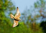 Peregrine Falcon In Pursuit