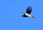 Bluejay During Autumn Migration