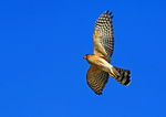 Adult Sharp Shinned Hawk During Autumn Migration