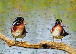 Two male Wood Ducks In Prime Breeding Plumage