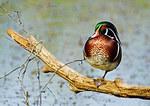 Wood Duck On Autumn Pond