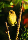 Palm Warbler During Autumn Migration, eastern race