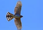 A Cooper's Hawk In October Migration