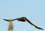 Northern Harrier Hovering