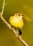 Palm Warbler Portrait, Autumn Migration, eastern race