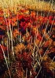 Glasswort Carpeting October Salt Marsh