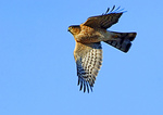 Sharp Shinned Hawk Hunting In Late Afternoon