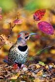 Yellow-shafted flicker amidst autumn leaves
