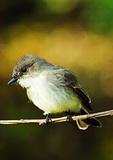 Eastern Phoebe In Autumn Hunting From Perch
