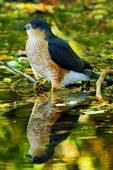 Sharp Shinned Hawk And Reflection