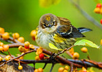 Yellow Rumped Warbler In Autumn Colors