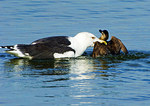 Great Black Backed Gull Capturing A Ruddy Duck