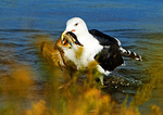 Great Black Backed Gull With Ruddy Duck