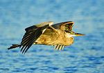 Great Blue Heron Flight In Late Light