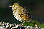 Hermit Thrush During Autumn Migration